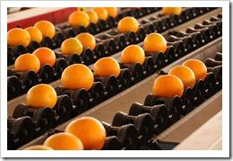 Sorting Oranges / Photographer: bighornplateau1 (flickr.com)